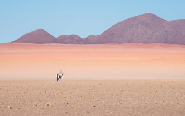 Oryx (Gemsbok) Antilope zu Fuß durch die trockene raue Namibia Wüste. – Foto