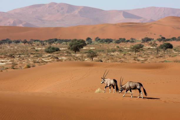 oryx antelopes in the desert two oryx antelopes in the middle of the namib desert, sossusvlei - namibia namib desert stock pictures, royalty-free photos & images