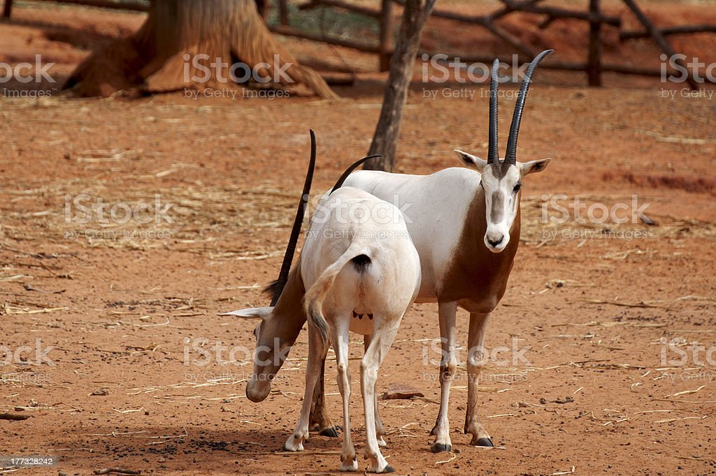 Oryx dammah stock photo