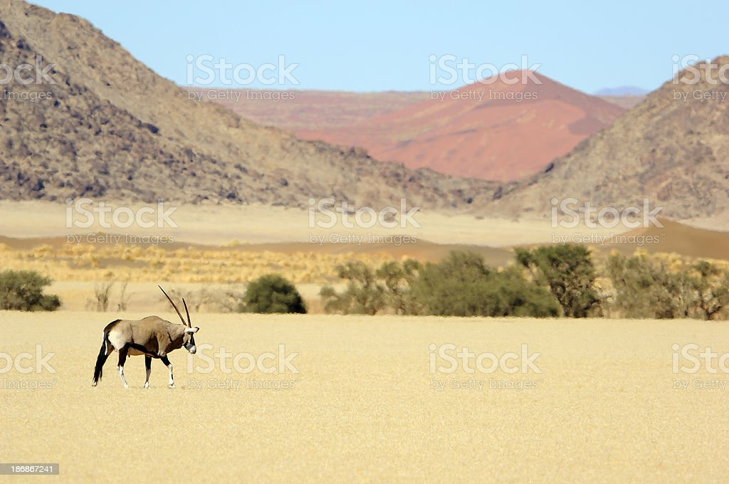 Oryx Dammah with red dune stock photo