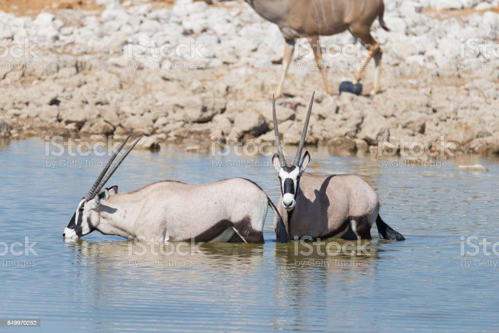 Oryx drinking from Okaukuejo waterhole in daylight. Wildlife Safari in Etosha National Park, the main travel destination in Namibia, Africa. stock photo