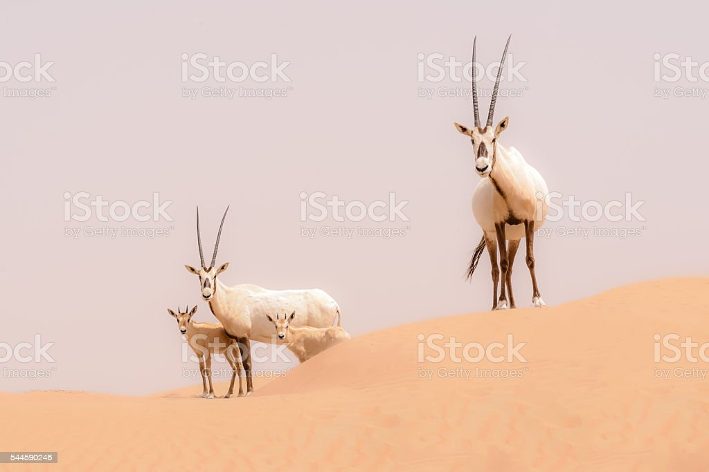 Oryx family, Dubai Desert Conservation Reserve, UAE stock photo
