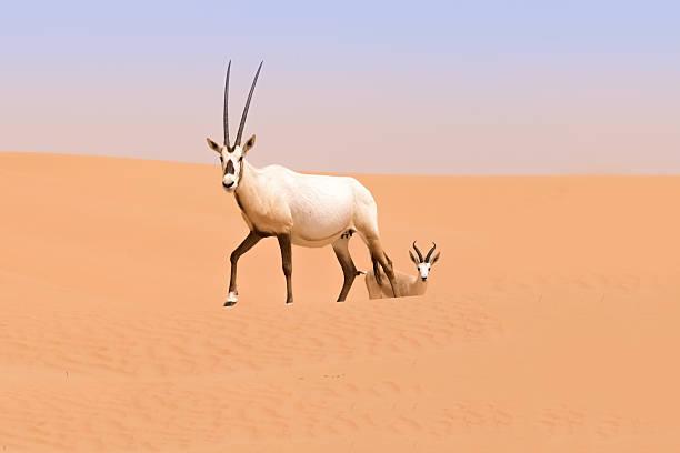 Oryx family, Dubai Desert Conservation Reserve, UAE – Foto