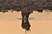an Oryx drinks from a waterhole in Southern Africa