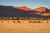 Wild Oryx - Gemsbok Herd grazing on dry prairie grass area in the warm sunset light in front of illuminated Namibian Desert Sand Dunes at Sossusvlei, Sesriem, Namib-Naukluft National Park, Namibia, South West Africa.