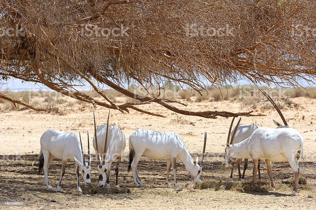 Oryx herd royalty-free stock photo