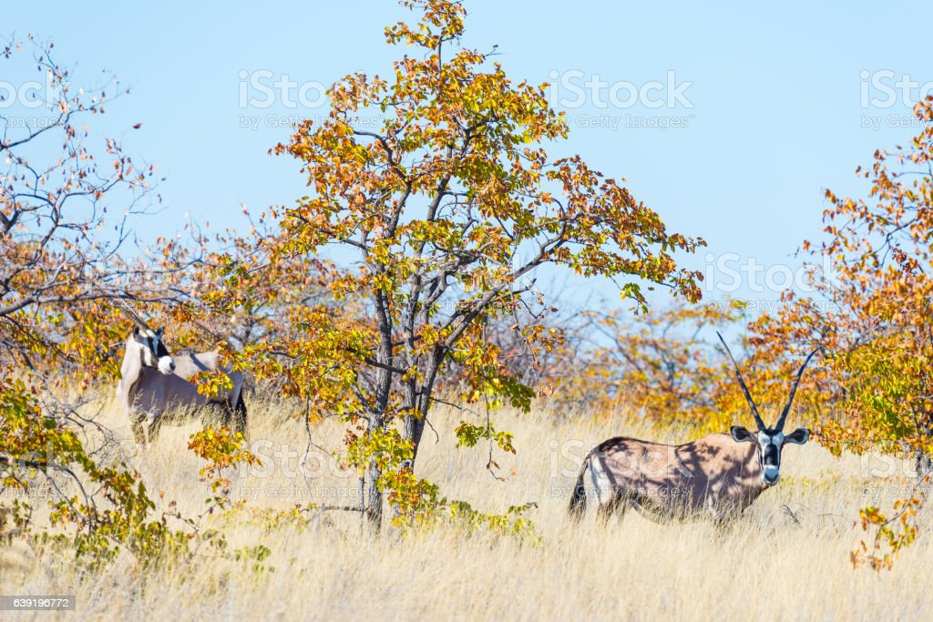 Oryx hiding in the bush, Mapungubwe National Park, Namibia stock photo