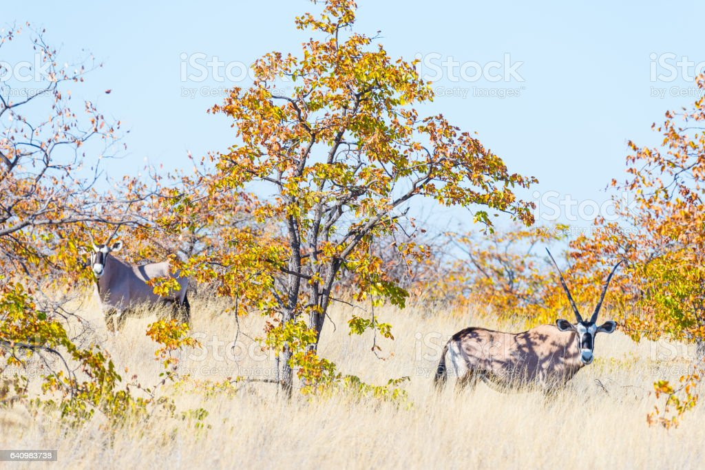 Oryx hiding in the bush stock photo