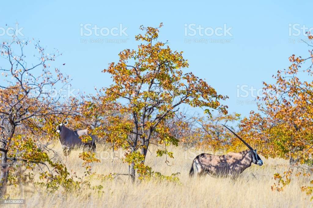 Oryx hiding in the bush. Wildlife Safari in the Mapungubwe National Park, travel destination in South Africa. stock photo