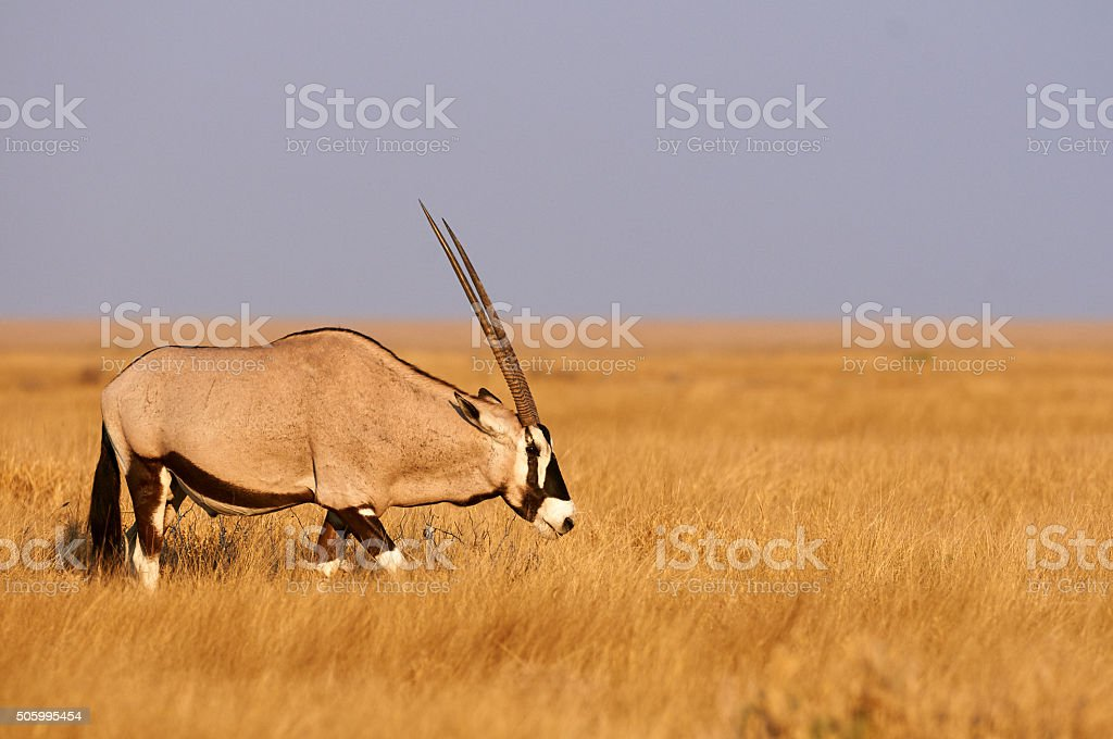 Oryx in an African National Park stock photo