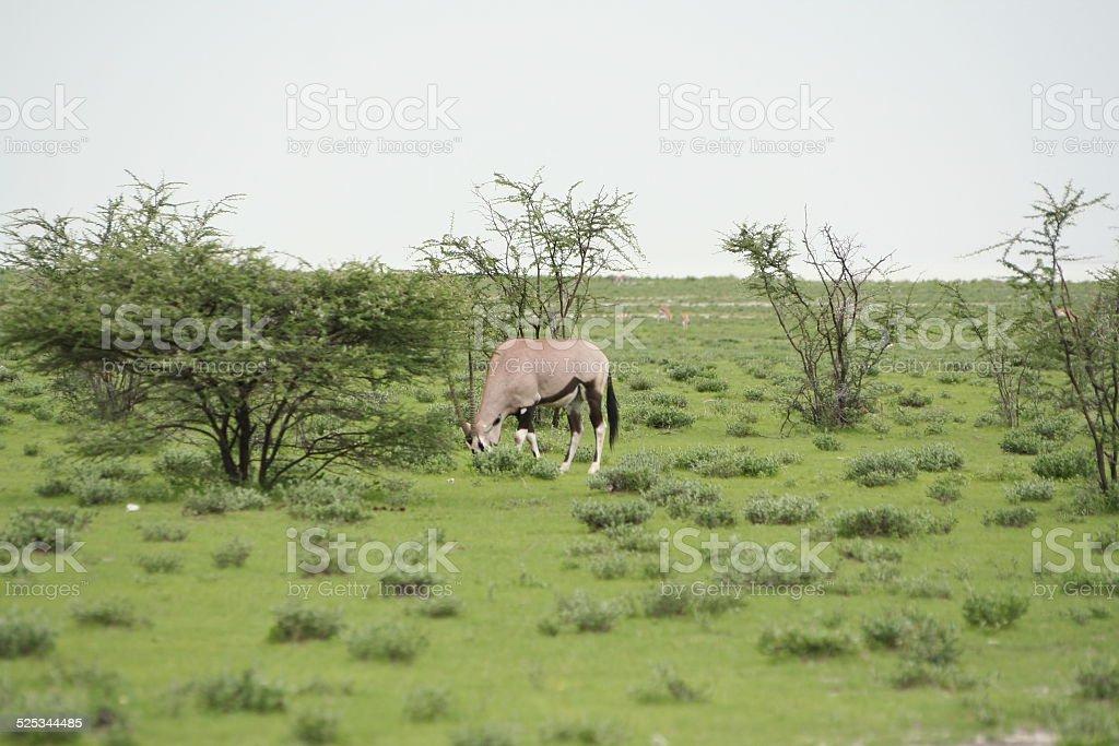 Oryx in Green Grassland, Wet Season, Etosha, Namibia, Africa stock photo