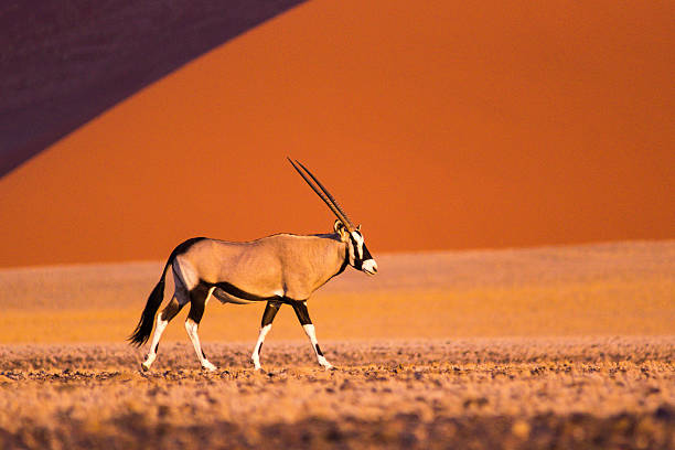 Oryx in Sossusvlei Profile of an Oryx in front of a sand dune in Sossusvlei, Namibia namibia stock pictures, royalty-free photos & images