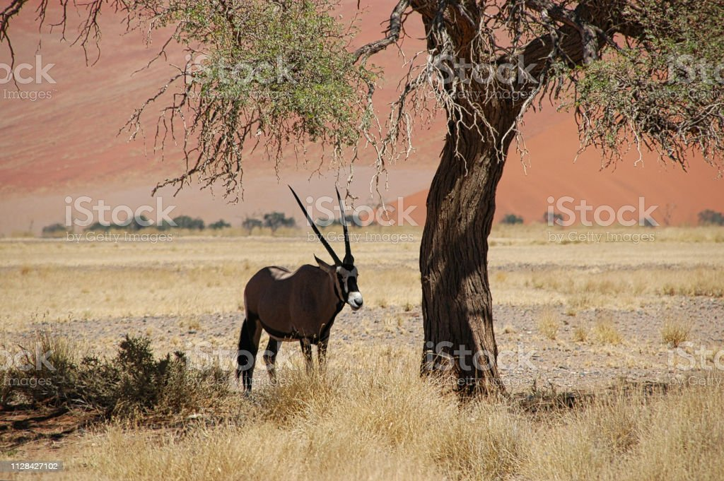 Oryx in the shade of a tree stock photo
