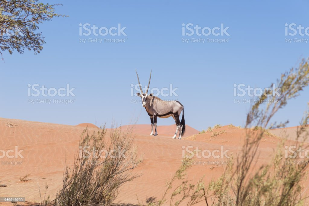 Oryx looking at camera in the colorful Namib desert foto stock royalty-free