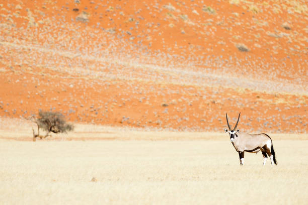Oryx-Antilopen – Foto