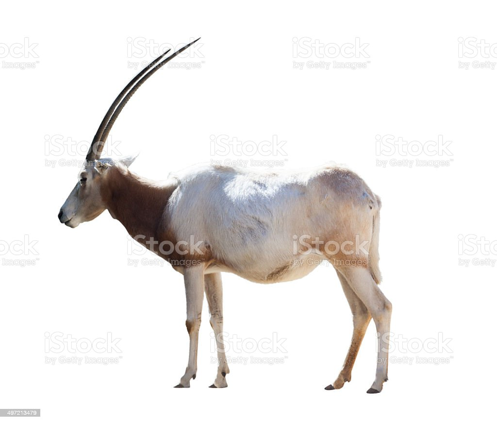 Oryx Scimitar stock photo