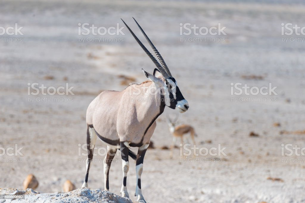 Oryx standing in the african savannah, the majestic Etosha National Park, best travel destination in Namibia, Africa. stock photo