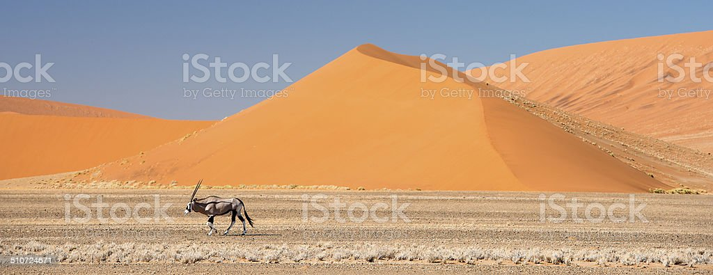 Oryx walking below huge sand dunes in Namibia stock photo