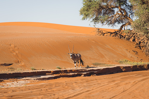 Scenic view of Oryx near the tree inside the sand dunes at Namib-Naukluft National Park