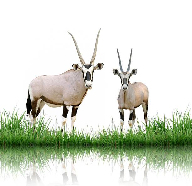 oryx with green grass isolated - gemsbok green bildbanksfoton och bilder