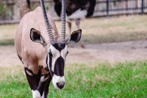 oryx/gemsbok står ensam i det gröna fältet för djur-och djur liv koncept - gemsbok green bildbanksfoton och bilder