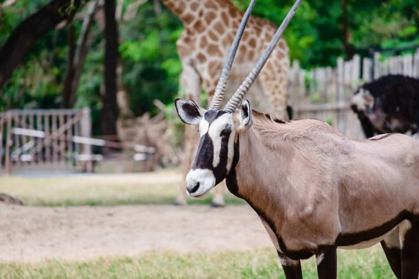 oryx/gemsbok står i det gröna fältet för djur-och djur liv koncept - gemsbok green bildbanksfoton och bilder