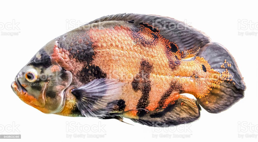 Oscar fish, astronotus. Isolated freshwater aquarium fish from the cichlid family. Known under a variety of common names, including tiger oscar, velvet cichlid, and marble cichlid stock photo