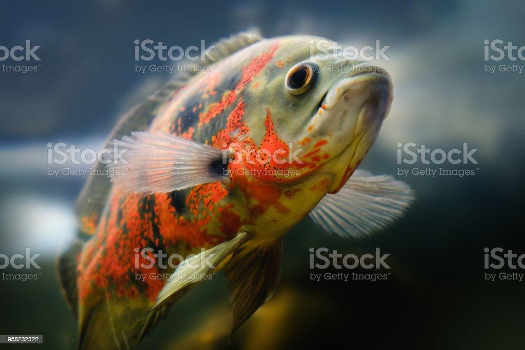 Oscar fish Astronotus ocellatus swimming underwater - foto stock