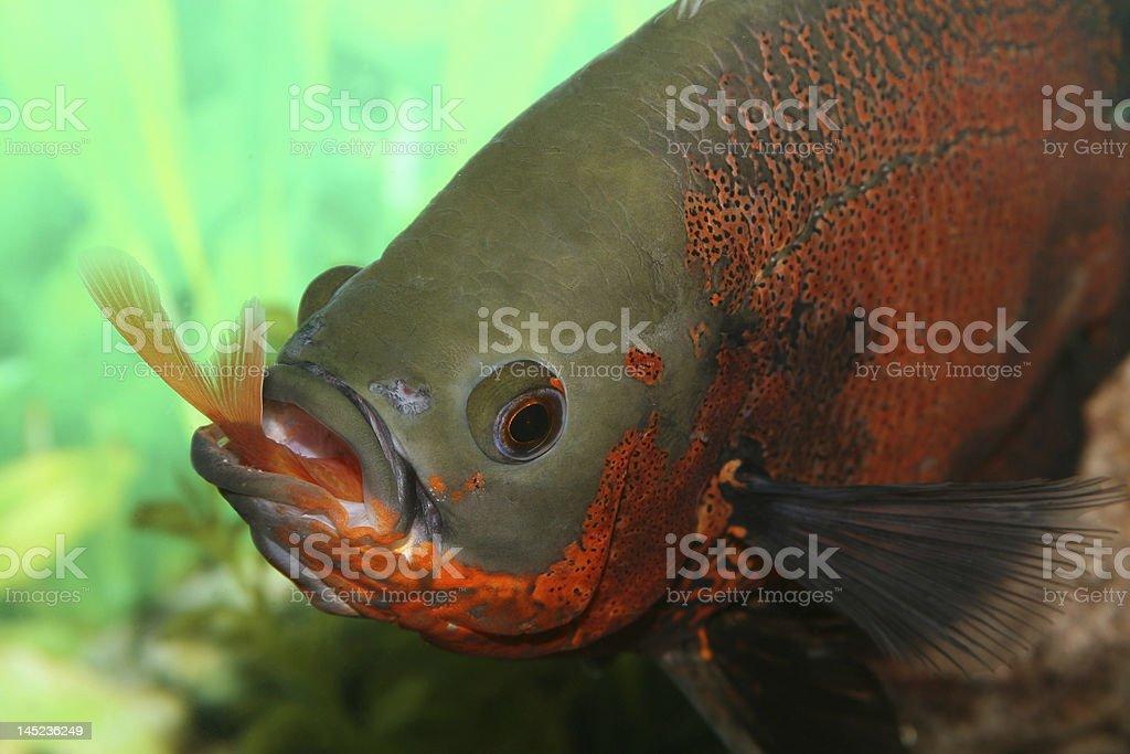 Oscar fish having a meal. stock photo