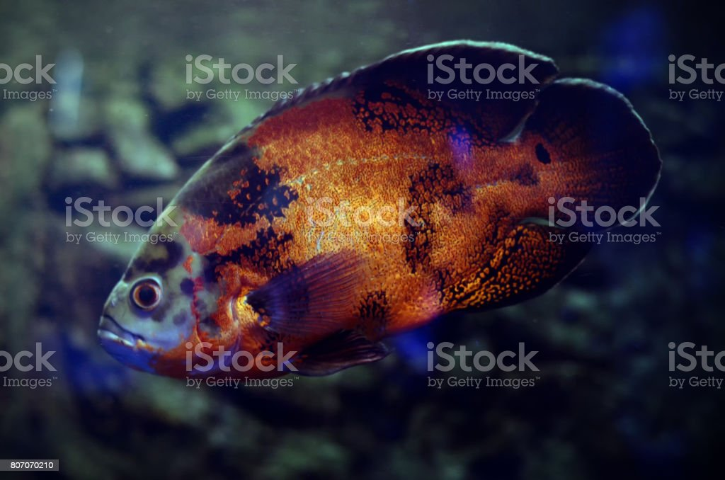 Oscar Fish in dark aquarium water. South America Amazon river fish Astronotus ocellatus. stock photo