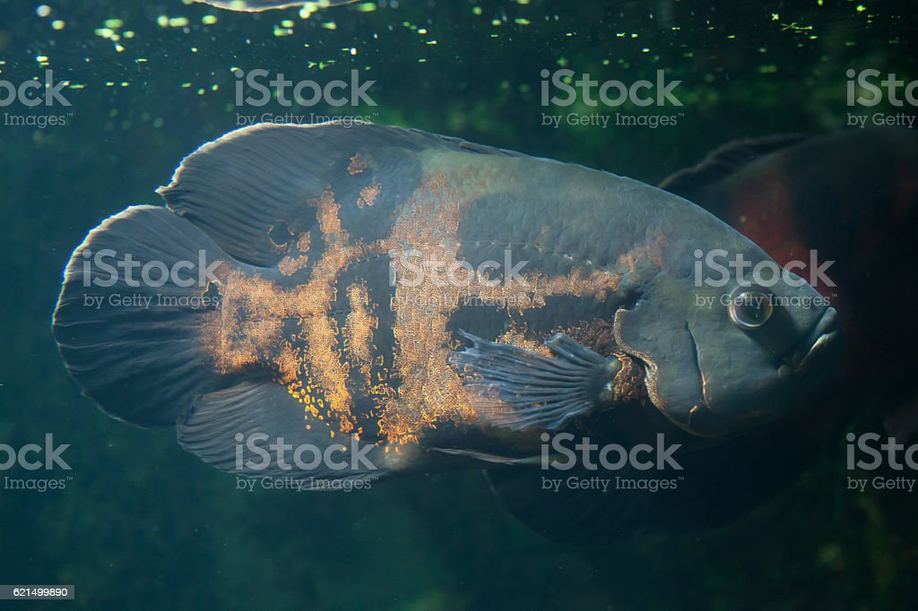 Oscar fish (Astronotus ocellatus). Lizenzfreies stock-foto