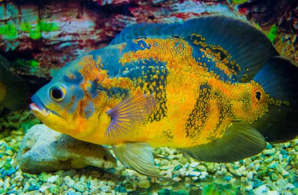 oscar fish (astronotus ocellatus) schwimmen unter wasser - oscar filme stock-fotos und bilder