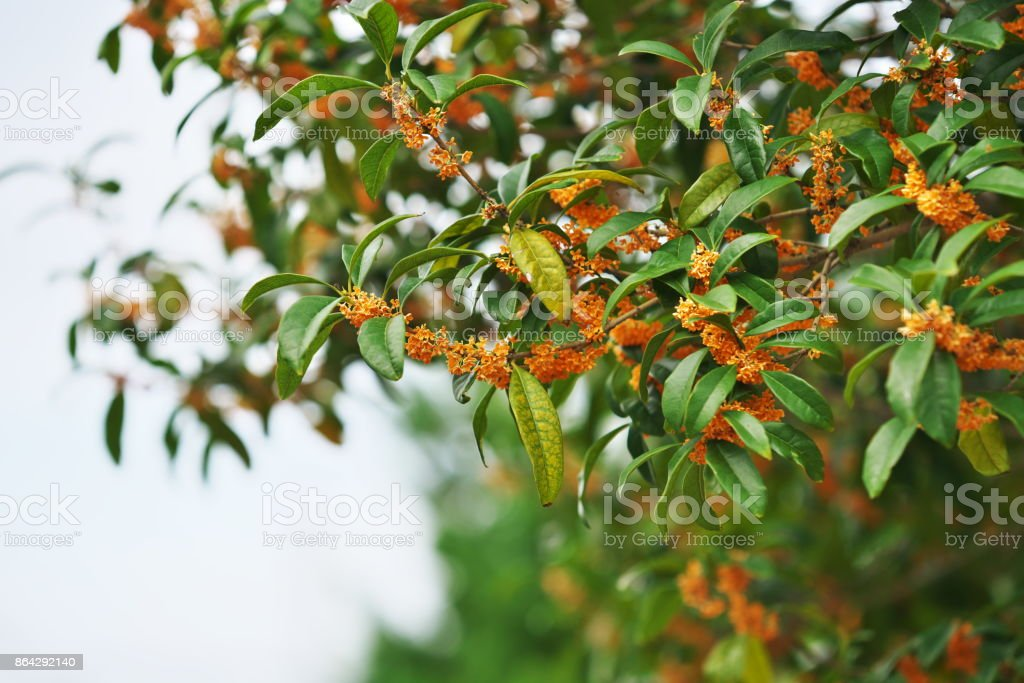 Osmanthus fragrans royalty-free stock photo