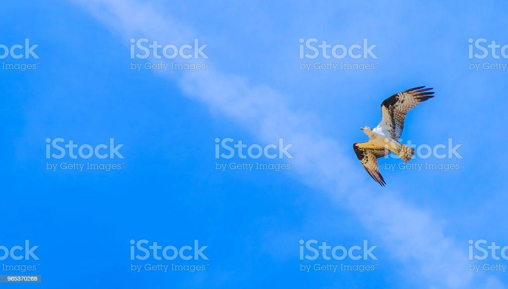 Osprey bird in cloudy sky royalty-free stock photo