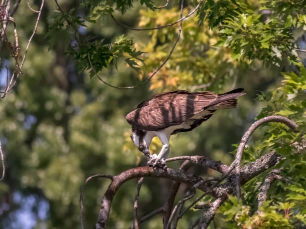 Osprey, bird of prey, feeding on small fish stock photo