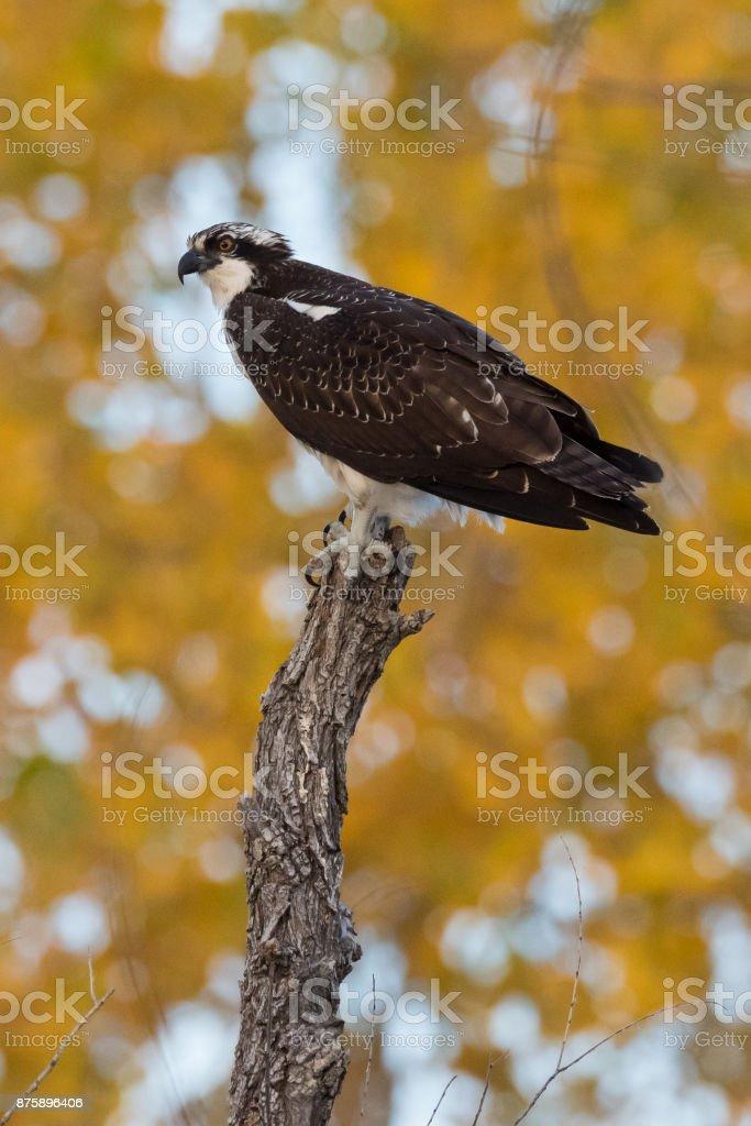 Osprey, Black Mesa, OK stock photo