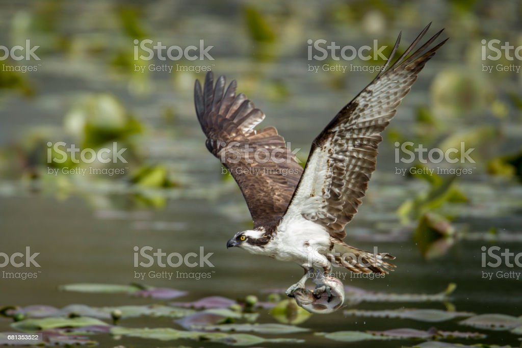 Osprey catches fish in claws. stock photo