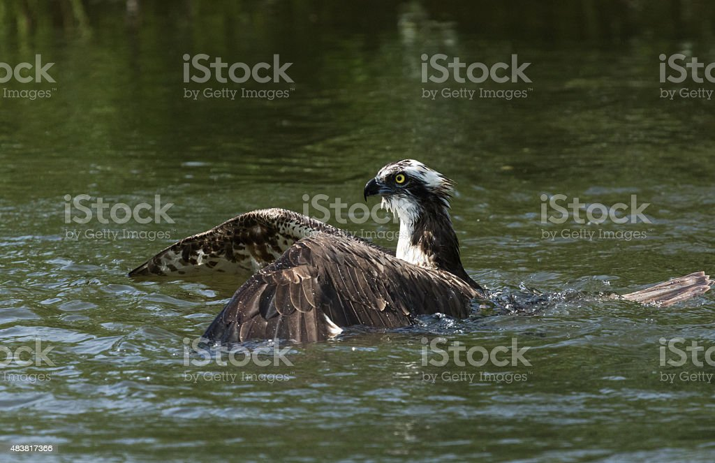 Osprey catching a fish stock photo