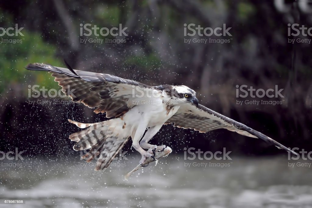 Osprey catching fish royalty-free stock photo
