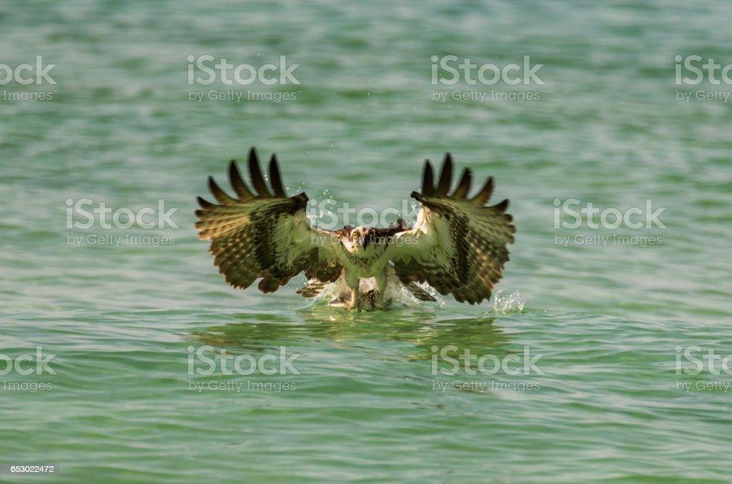 Osprey Catching Ladyfish stock photo