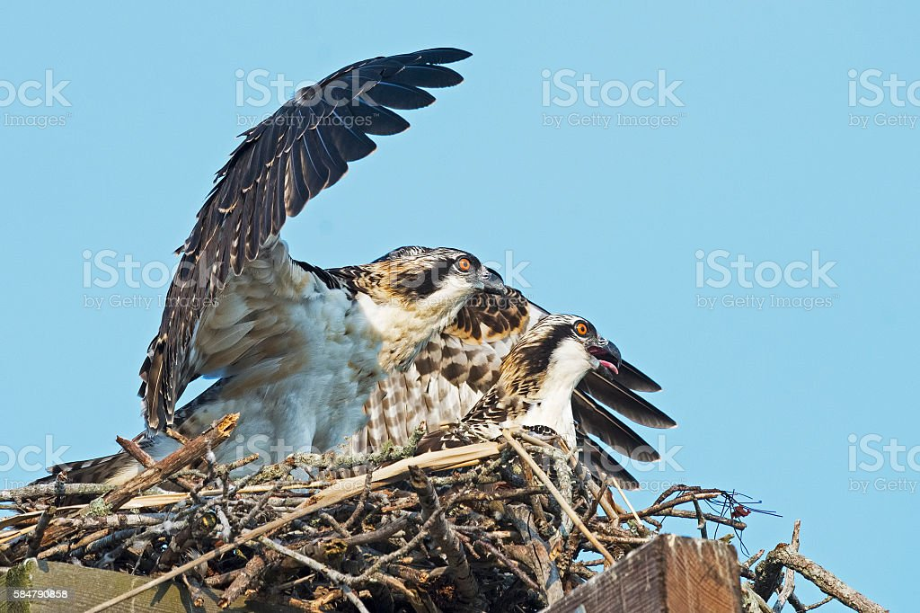 Osprey Chick Flapping Wings stock photo