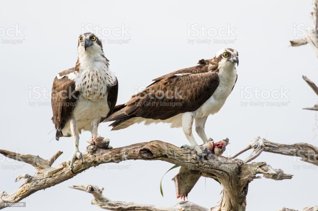 Osprey Couple photo libre de droits