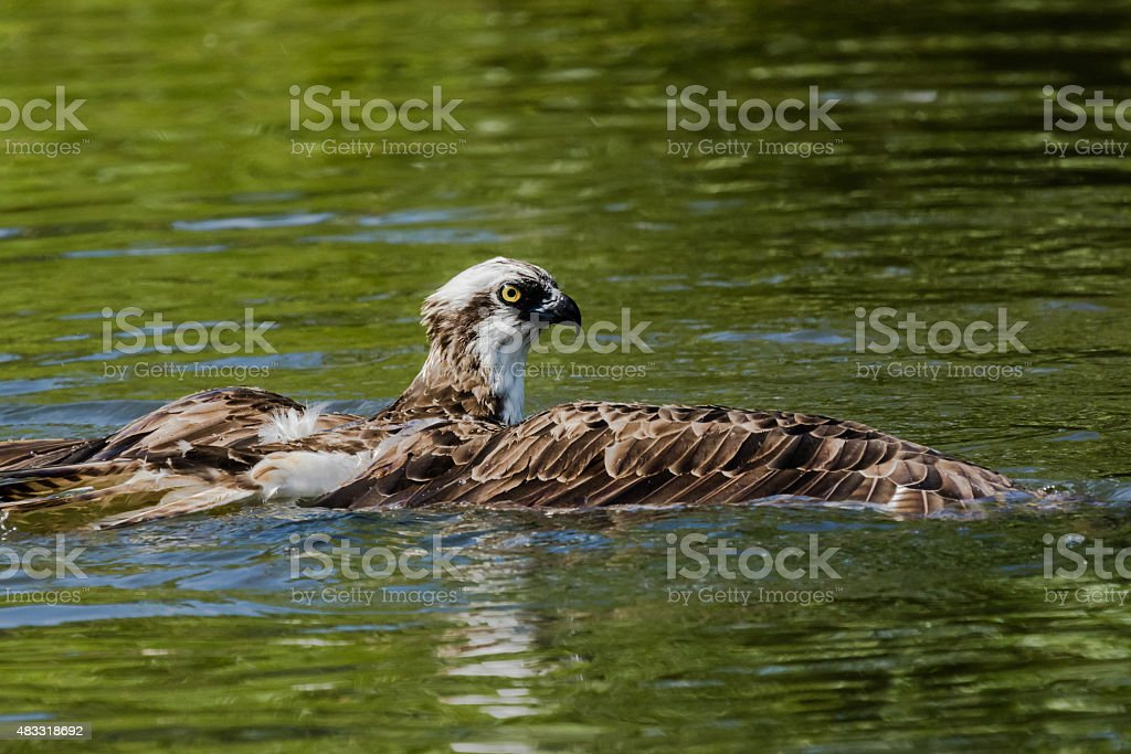Osprey fishing on a pond stock photo