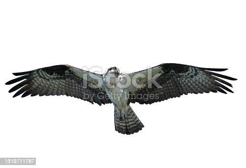 istock Osprey, Florida, United States, isolated on white 1319711787