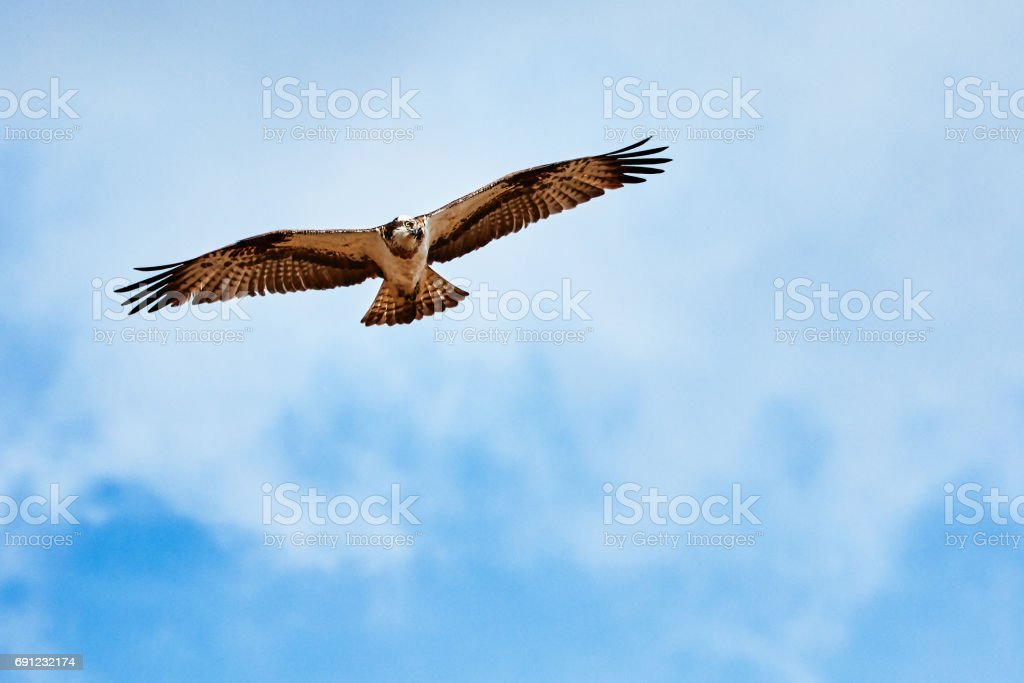 Osprey flying and hunting on the  blue sky stock photo
