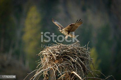Osprey flying from nest