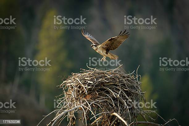 Osprey flying from nest picture id177520236?b=1&k=6&m=177520236&s=612x612&h= apum dcf4pryopzufq7hd2ho1b otgs53zpijzwxps=