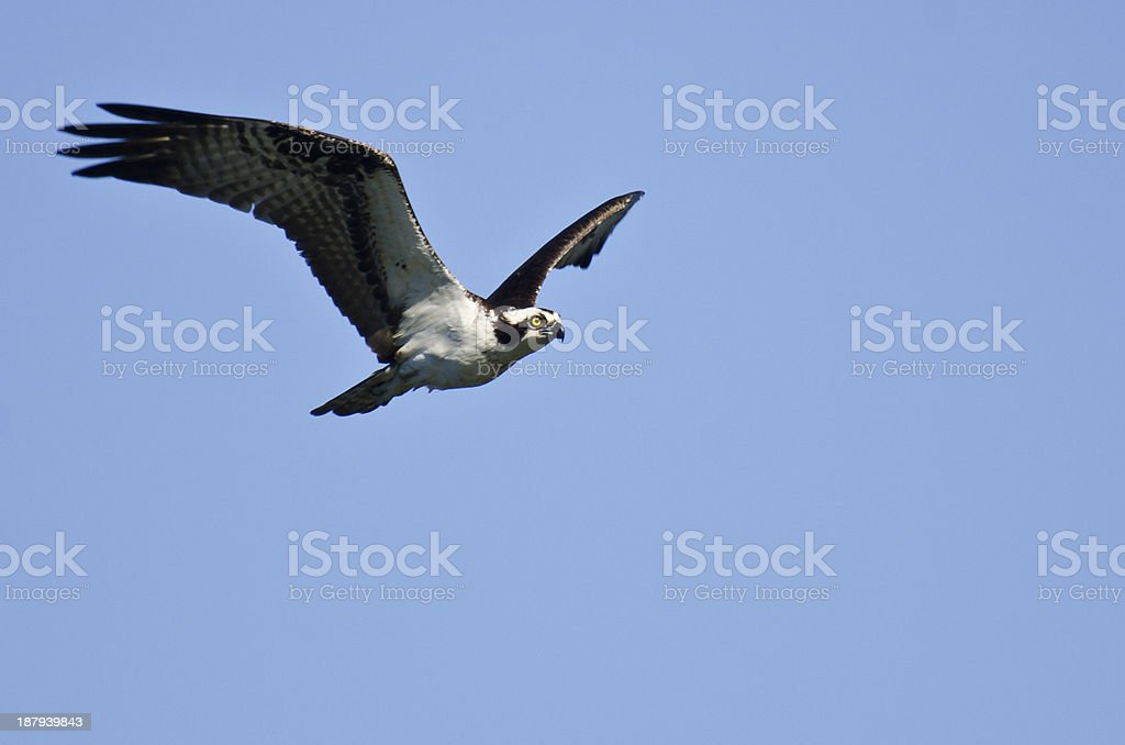 Osprey Flying in a Blue Sky royalty-free stock photo