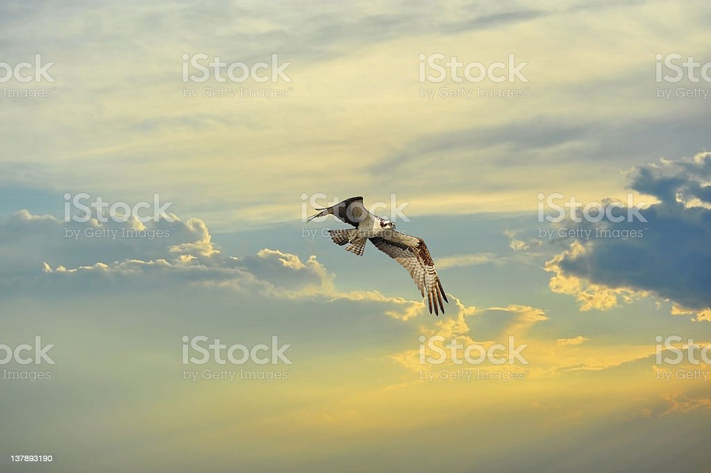 Osprey flying in clouds at sunset royalty-free stock photo