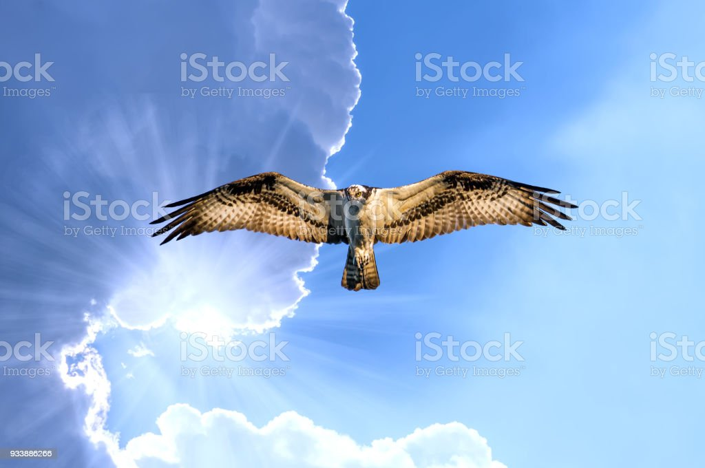 Osprey flying in the clouds with sunrays stock photo
